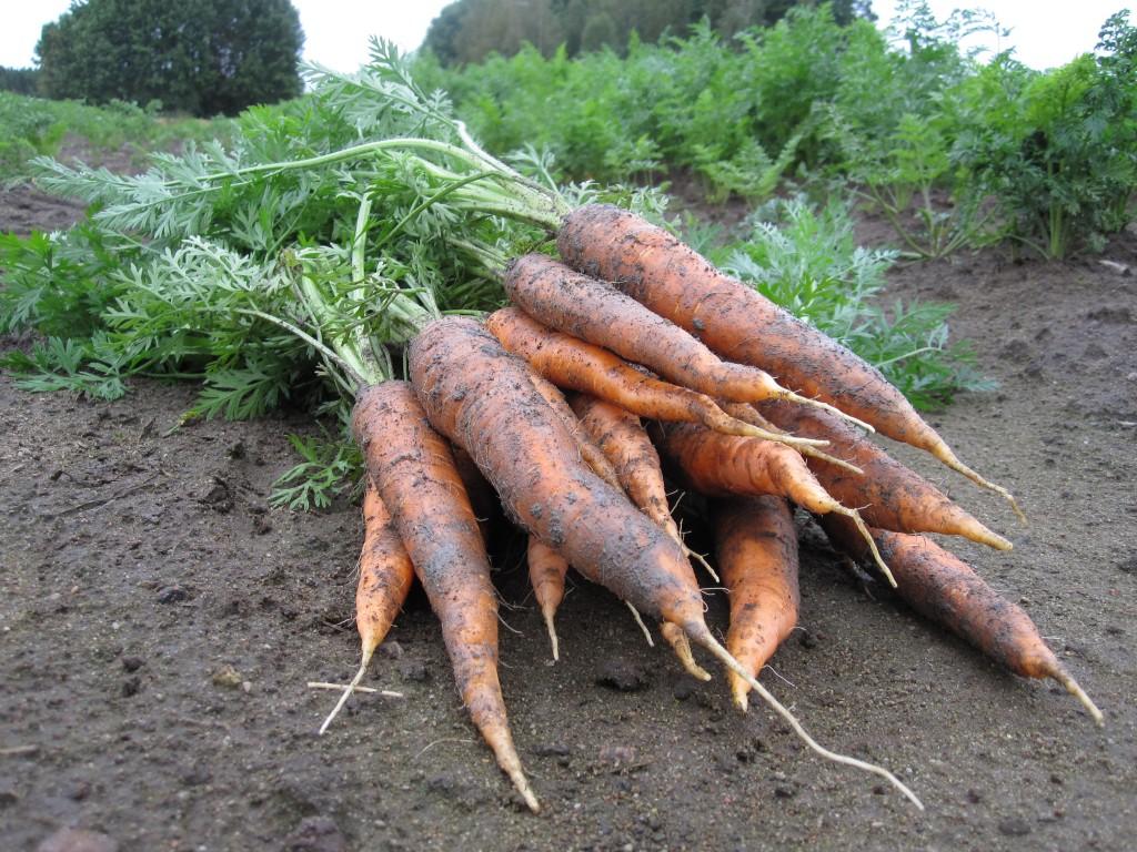 porkkananippu (1)