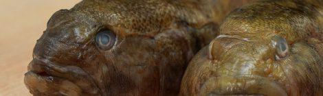 Vieraslajista ruokapöydän herkuksi - mustatäplätokko